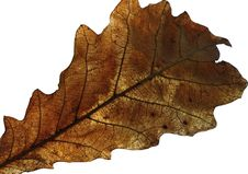Free Oak Leaf Stock Images - 14295044