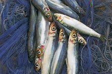 Free Sardines 2 Stock Photo - 14295440