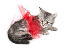 Isolated Grey Kitten Royalty Free Stock Photo