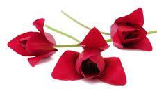 Free Three Bright Red Tulips Stock Photo - 14295610
