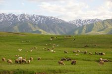 Free Herd Of Sheep In Mountains Royalty Free Stock Photography - 14295847