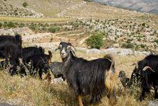 Free Goats Stock Photo - 14296810