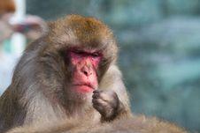 Free Monkey Royalty Free Stock Images - 14297279