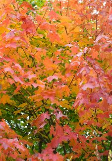 Free Autumn Maple Leaves Background Stock Photography - 14297512