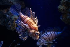 Free Lion Fish Royalty Free Stock Photos - 14297538