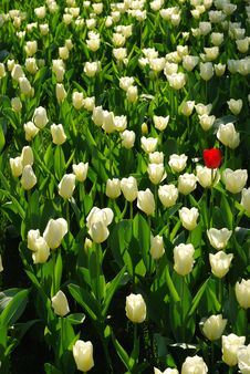 Free Tulip Stock Images - 14297694