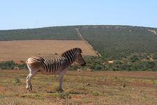 Free Zebra Singel Stock Images - 14297714