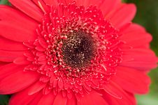 Free Red Gerber Stock Image - 14297831