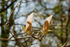 Free White Magnolia Royalty Free Stock Image - 14298136