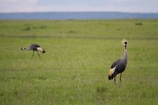 Free Amboseli Egyptian Cranes Royalty Free Stock Images - 14298359