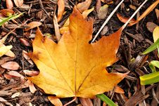 Free Maple Leaf In Fall Stock Images - 14299264