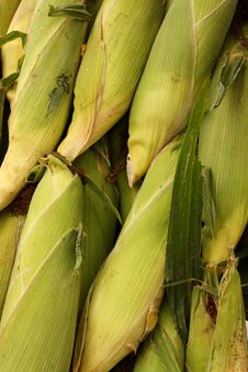 Free Pile Of Corn Cobs Royalty Free Stock Photos - 14299318