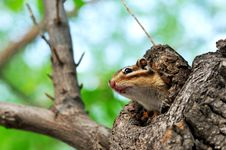 Free Squirrel Stock Image - 14299431
