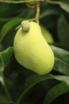 Free Mangoe Stock Image - 14299601