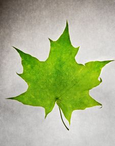 Free Maple Leaf On White Paper Royalty Free Stock Image - 14299636