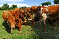 Free Cows Stock Image - 14299711