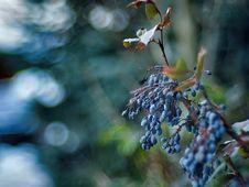 Free Wild Grape Vine Royalty Free Stock Photos - 142991958