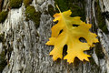 Free Golden Leaf Resting On Weathered Tree Stump Royalty Free Stock Photo - 1436715