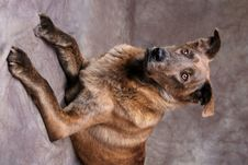 Free Portrait Of Brown Dog Laying Down Stock Photography - 1430292