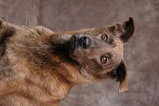 Free Portrait Of Brown Dog Royalty Free Stock Images - 1430399