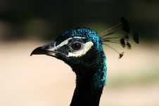 Free Peacock Royalty Free Stock Photography - 1430647