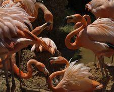 Bickering Flamingos Royalty Free Stock Photos
