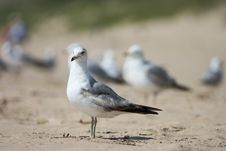 Free Gull Stock Photography - 1431682