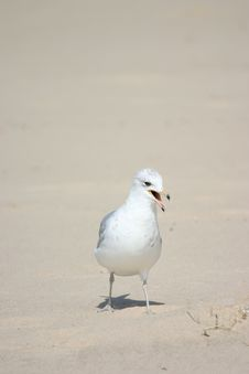 Free Seagull Royalty Free Stock Image - 1431716