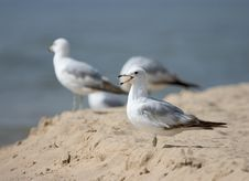 Free Squeaking Seagull Royalty Free Stock Images - 1431719