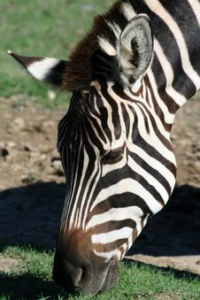 Free Zebra Face Royalty Free Stock Images - 1431799