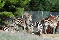 Free Zebras In A Park Stock Image - 1432111