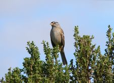 Free White Crowned Sparrow Royalty Free Stock Photography - 1432147
