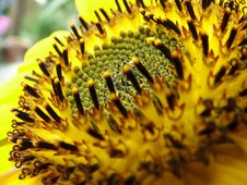 Free Sunflower Stock Image - 1432151