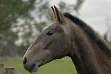 Free Horse Portrait Of Lusitano Bread Royalty Free Stock Photography - 1432297