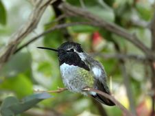 Free Hummingbird Perched Stock Photos - 1432583