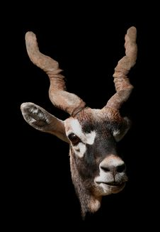 Free Antelope Portrait Stock Photos - 1433543