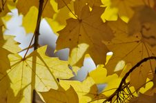 Free Autumnal Leaves Royalty Free Stock Photography - 1434287