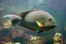 Free Yellow Surgeonfish 2 Stock Photos - 1435703