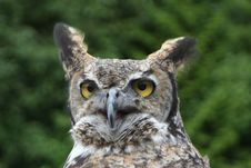 Free Horned Owl Royalty Free Stock Images - 1436339