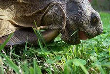 Tortoise Eating Grass Royalty Free Stock Image