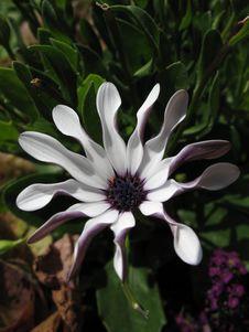 Free Strange White Daisy Royalty Free Stock Photo - 1436695