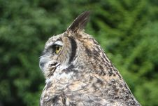 Free Horned Owl 6 Stock Image - 1437011