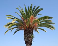 Free California Palm Royalty Free Stock Photos - 1437238