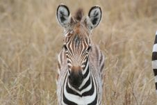 Free Young Zebra Stock Photos - 1437273