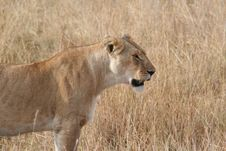 Free Lioness - Maasi Mara Royalty Free Stock Photos - 1437288