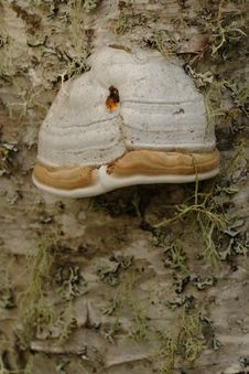 Free Tinder Polypore Royalty Free Stock Photo - 1437325