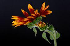 Free Sunflower Stock Photos - 1438163