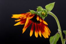 Free Sunflower Stock Images - 1438184