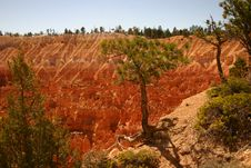 Free Bryce Canyon Pinetree Stock Photos - 1439083