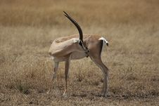 Free Kenyan Gazelle Royalty Free Stock Images - 1439239